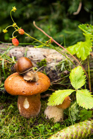 Photo from the series one day in the life of snails. A garden snail sits on a large wet mushroom, and another smaller mushroom grows nearby. Archivio Fotografico