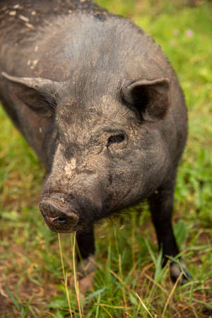 A photo of a fat, dirty pig covered in stubble. Selective focus on the eyes.