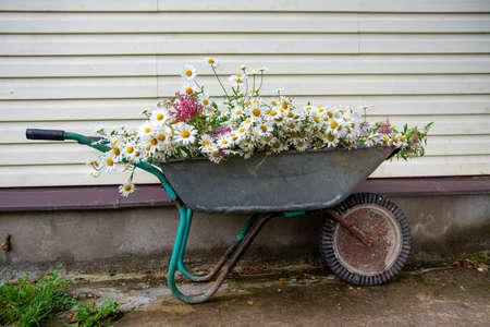 A garden wheelbarrow full of daisies stands against the wall of a country house.
