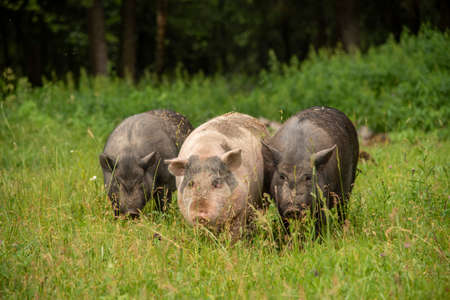 Three fat pigs are walking on thick green grass. Subsistence farming, the life of Pets. Archivio Fotografico