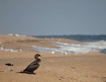 A black cormorant sits on a beach by the sea. Archivio Fotografico