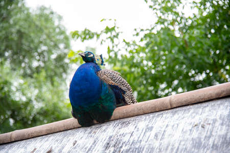 A bright peacock sits on a metal roof against a background of green trees. Stockfoto