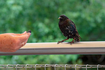 A woman's tanned hand offers food to a Starling sitting on a crossbar. Stockfoto