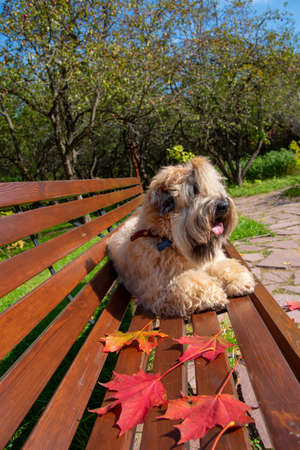 The dog, an Irish wheat soft-coated Terrier, lies on a bench in a public Park surrounded by bright autumn leaves on a clear Sunny day.