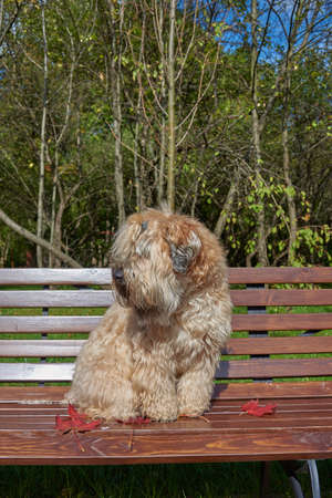 The dog, an Irish wheat soft-coated Terrier, sits on a bench in a public Park surrounded by bright autumn leaves on a clear Sunny day.
