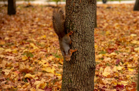 A red fluffy squirrel sits on a tree trunk in a bright autumn Park, strewn with fallen leaves. Фото со стока