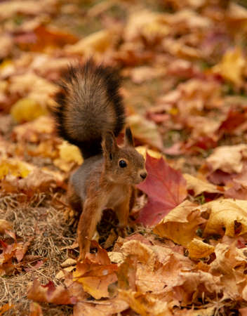 A small fluffy squirrel jumps on the ground, strewn with colorful maple leaves. Stok Fotoğraf