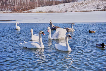 A flock of white swans and ducks on the lake on a Sunny frosty day. Imagens