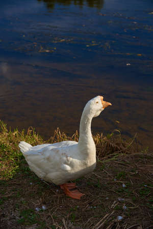 An important white goose stands on the river Bank.