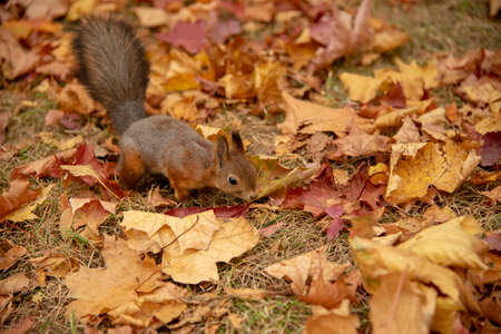 A small fluffy squirrel jumps on the ground, strewn with colorful maple leaves.