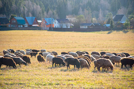 A flock of sheep graze in a field in front of the village on a Sunny autumn day. Banque d'images