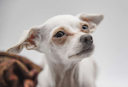 Portrait of a dog, a Russian toy Terrier, with large sad eyes on a light gray background.