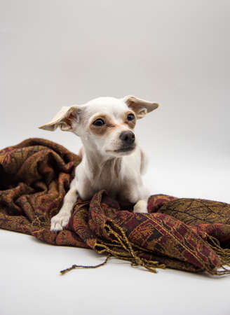 Portrait of a dog, a Russian toy Terrier, with large sad eyes, lying on a brown Mat, on a light gray background.