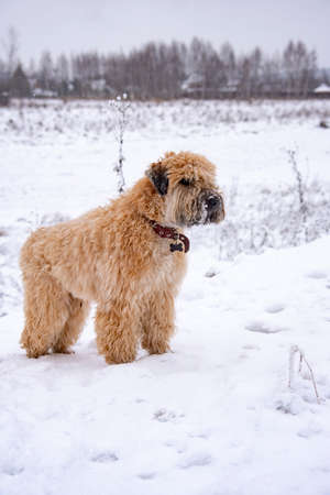 A fluffy red dog, an Irish soft-haired wheat Terrier, stands in a field on a cloudy winter day.