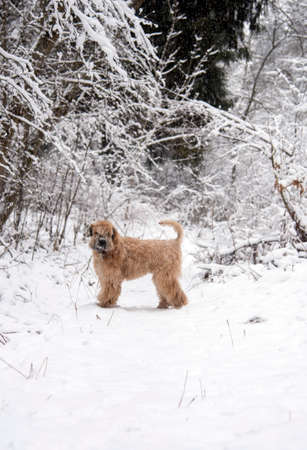 A fluffy red dog, an Irish soft-coated wheat Terrier, stands in a clearing in a snow-covered forest on a cloudy day.