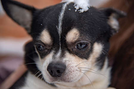 Portrait of a small black and white dog, a chihuahua, on a cloudy winter day in the hands of the owner.