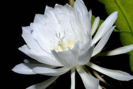 The Epiphyllum,Night-blooming Cereus Stock Photo - 16760974