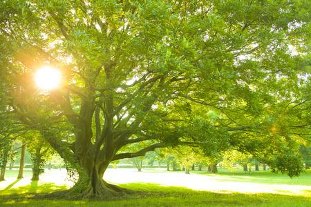 Park tree sunset