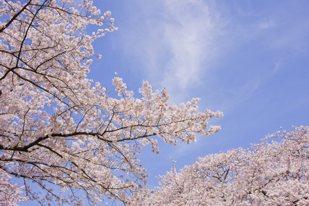 Cherry blossoms blue sky