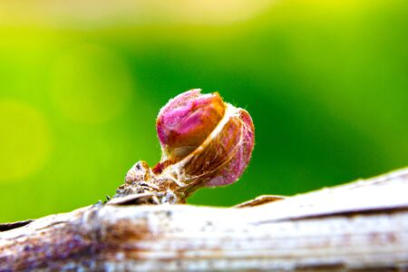 Bud Break On Northern Grape Vines