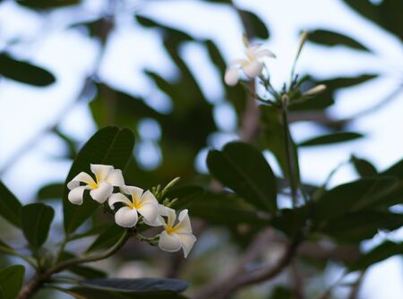 A set of white and yellow plumeria frangipani flowers on the tree in Thailand. Close up with bokeh