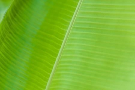 textured smooth fresh banana leaf closeup for background