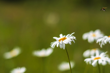 Wild camomile flowers growing in green grass, abstract floral natural ecology background