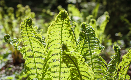 fresh young fern leaves in sunlight in the forest. ferns opening in springtime