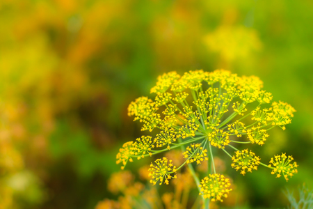 Close up of blooming dill flowers in seasoning kitchen garden. Fresh fennel blossoms on the green colorful bokeh background with the copy space for text Stock Photo