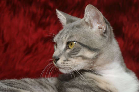 Beautiful cat over red Stock Photo - 912400