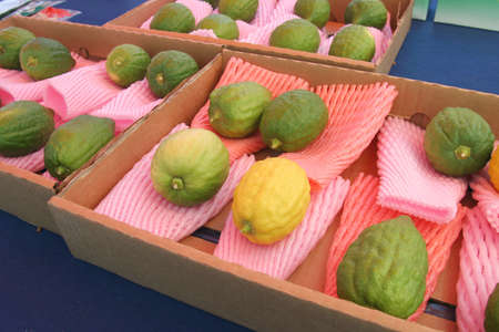 Jud�o citrons pantalla, Sukkot - Tabern�culos