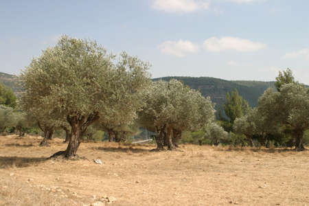 Olive grove Stock Photo - 912500