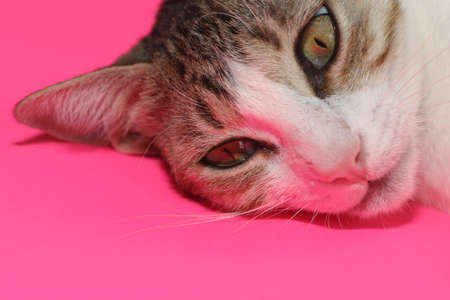 cat over pink