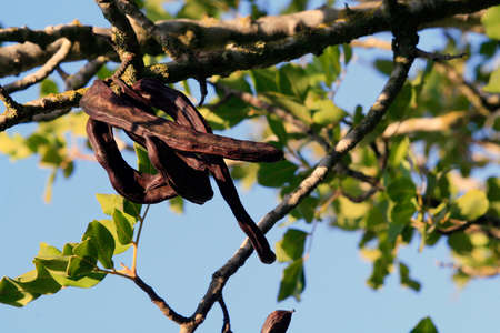 Carob tree in Israel - the middle east - background