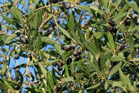 Olive tree in Israel - the middle east - background Stock Photo