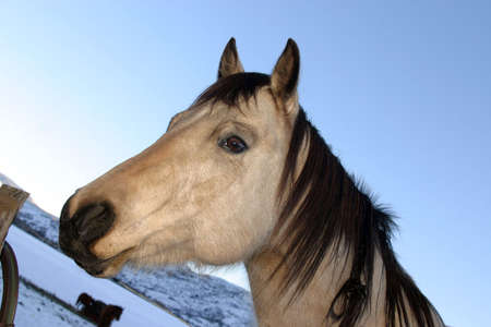 Horse's head, snow in the background Stock Photo - 915480