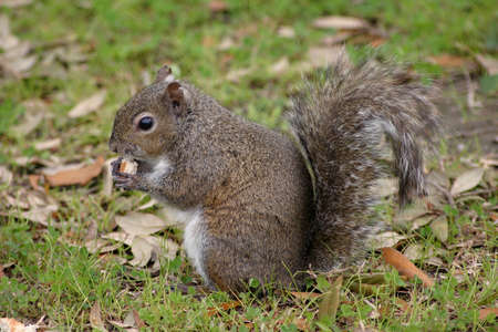 A squirrel in a field, eating Stock Photo - 915501