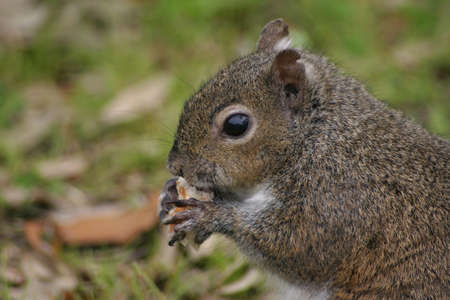 A squirrel in a field, eating