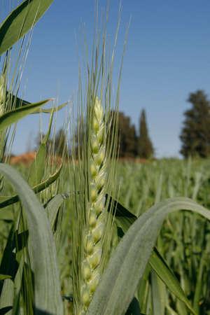 Wheat field, Ha'Sharon, Israel Stock Photo - 915508