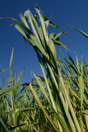 Wheat field, Ha'Sharon, Israel Stock Photo - 915509