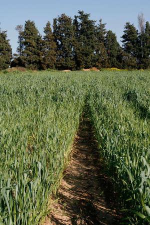 Wheat field, Ha'Sharon, Israel, Blue skies, a spring day. Stock Photo - 915511