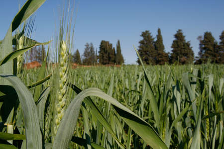 Wheat field, HaSharon, Israel,  Blue skies, a spring day. Stock Photo