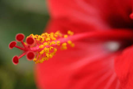 red hibiscus macro