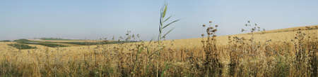 Wheat field panorama, the Galilee, Israel Stock Photo