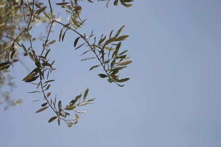 olive tree branch Stock Photo - 945770