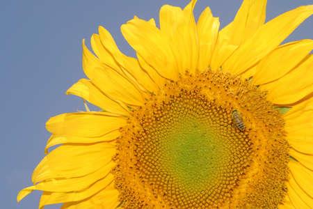 Summer is around the corner - a blooming yellow sunflower. Stock Photo - 967105