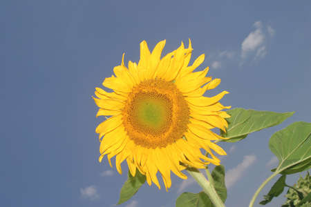 Summer is around the corner - a blooming yellow sunflower. Stock Photo - 967106