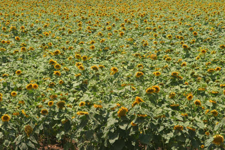 Summer is around the corner - a blooming yellow sunflower field.