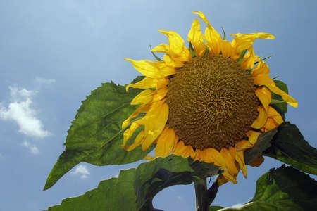 Summer is around the corner - a blooming yellow sunflower. Stock Photo - 1126520