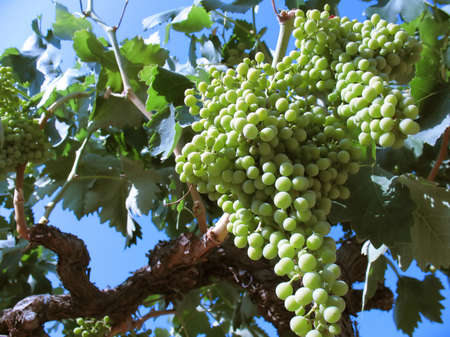 Ripe grapes on the vine Stock Photo - 1404517